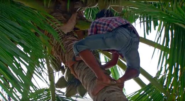 сборщики кокосовых орехов